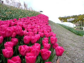 Natures vibrant and dazzling colours Tulips