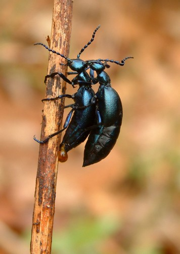 Violet oil beetles